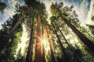 SBC Sequoias iStock 2014 copy
